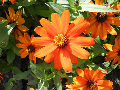 Photograph - Orange Daisy by John Parry