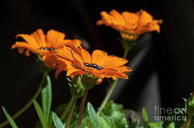 Photograph - Orange Daisy by Leonardo Fanini