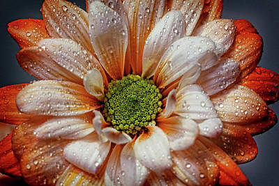 Photograph - Orange Daisy With Raindrops by Judy Vincent