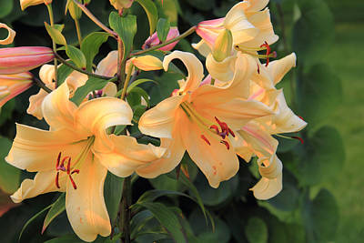 Photograph - Orange Daylilies by Angela Murdock