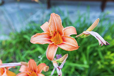 Photograph - Orange Daylily by D K Wall