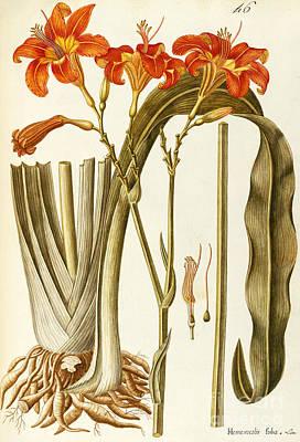 Orange Daylily Art Print