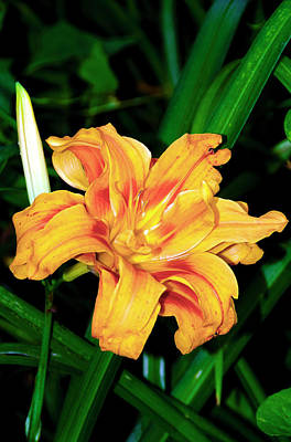 Photograph - Orange Daylily by Greg Reed