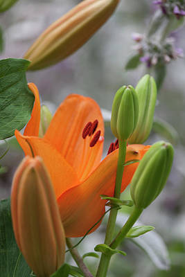 Photograph - Orange Daylily IIi by Suzanne Gaff