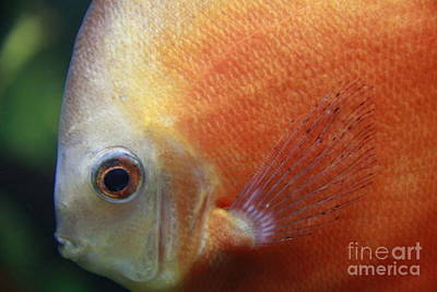 Photograph - Orange Discus by Jennifer Bright