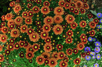Photograph - Orange Mums by Donna Brown