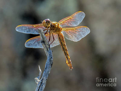 Dragonfly 6 Art Print