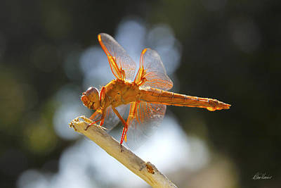Photograph - Orange Dragonfly by Diana Haronis