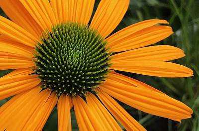 Photograph - Orange Echinacea  by Bruce Bley