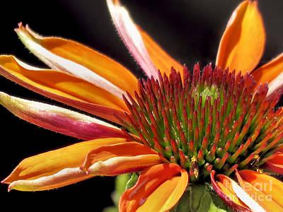 Photograph - Orange Echinacea by Janice Drew