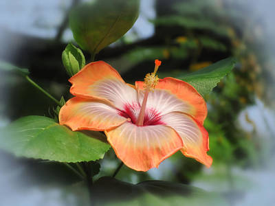 Photograph - Orange Edged Hibiscus by MTBobbins Photography
