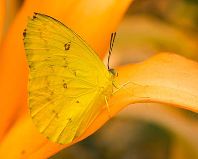 Photograph - Orange Emigrant Butterfly by Kimberly Kotzian