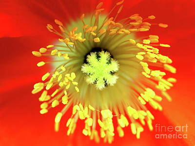 Photograph - Orange European Poppy Flower . 7d5261 by Wingsdomain Art and Photography