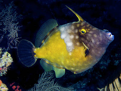 Art Print featuring the photograph Orange Filefish by Jean Noren