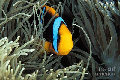 Mariana Photograph - Orange-fin Anemone by Dave Fleetham - Printscapes
