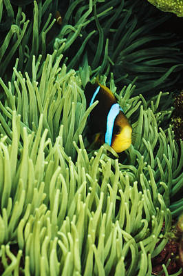 Orange-fin Anemone Fish, Amphiprion Art Print by James Forte