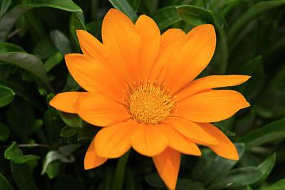 Orange Fire Bush Flower Original