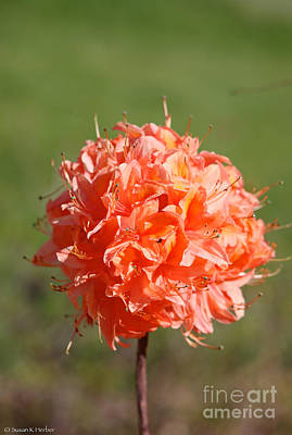 Photograph - Orange Floral Ball by Susan Herber