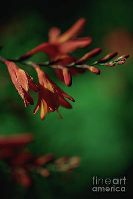 Photograph - Orange Flower 3 by Marc Daly