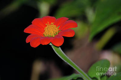 Photograph - Vermilion Orange  by Donna Brown