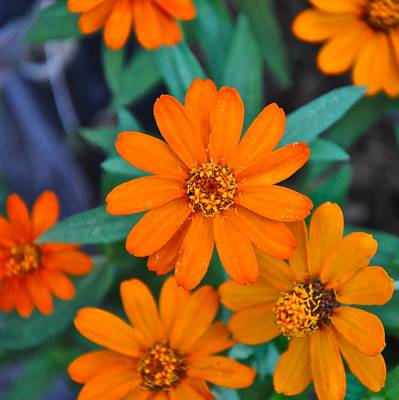 Orange Flowers Art Print by Lori Kesten