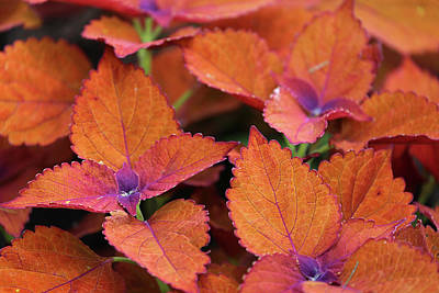 Photograph - Orange Foliage Dow Gardens 062618 by Mary Bedy