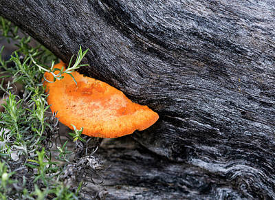 Photograph - Orange Fungus - Canberra - Australia by Steven Ralser