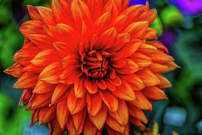 Orange Garden Dahlia Art Print