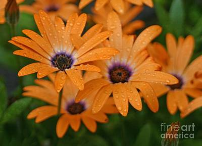 Photograph - Orange Gazania by Cindy Lee Longhini