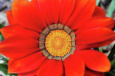 Photograph - Orange Gazania With Texture by Trina Ansel