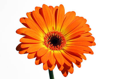 Gerber Daisy Photograph - Orange Gerber Daisy Perfection by Juergen Roth
