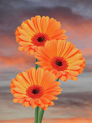 Photograph - Orange Gerbera Daisies At Sunset by Gill Billington
