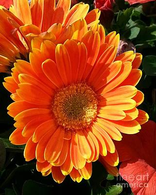 Photograph - Orange Gerbera Daisy by Chalet Roome-Rigdon