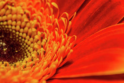 Photograph - Orange Gerbera Daisy by SR Green