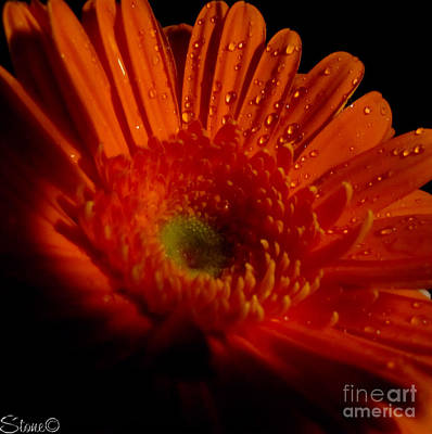 Photograph - Orange Gerbera by September  Stone