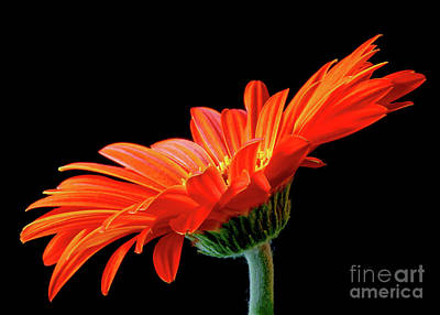 Photograph - Orange Gerbera On Black by Anita Pollak