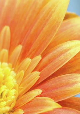 Photograph - Orange Gerbera Petals by Wim Lanclus