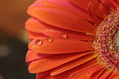 Photograph - Orange Gerbera With Water Drops by Angela Murdock