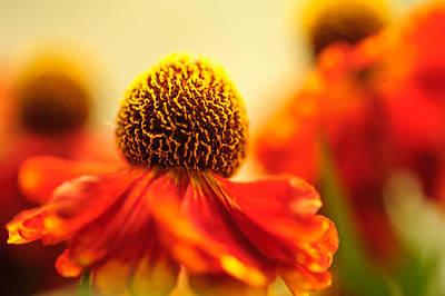 Photograph - Orange Glow. Rudbeckia Macro by Jenny Rainbow