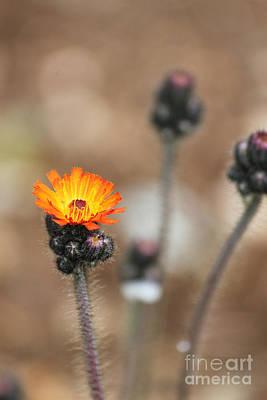 Bokeh Photograph - Orange Hawkweed by Carolyn Brown