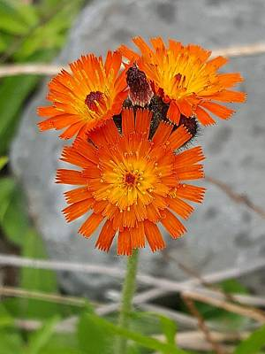 Photograph - Orange Hawkweed by Michael Graham