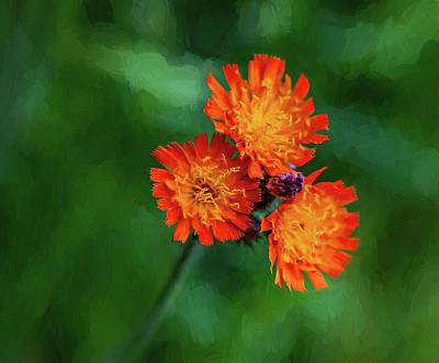 Fox Digital Art - Orange Hawkweed - Paint by Steve Harrington