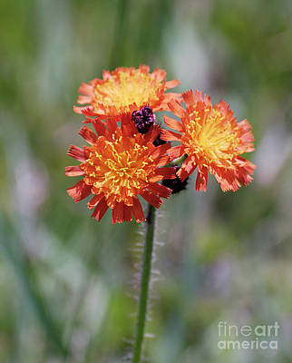 Orange Hawkweed Art Print