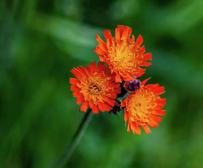 Fox Photograph - Orange Hawkweed by Steve Harrington