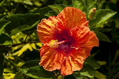 Photograph - Orange Hibiscus by Brian Harig