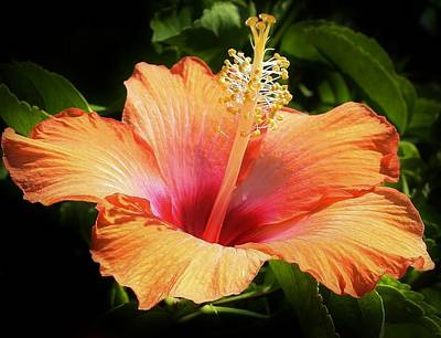 Photograph - Orange Hibiscus by Bruce Bley