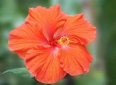 Red Leaves Photograph - Orange Hibiscus Flower by Art Spectrum