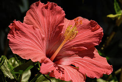 Photograph - Orange Hibiscus by Sherman Perry