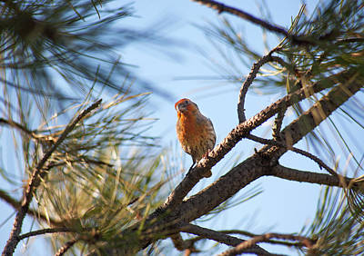 Photograph - Orange House Finch 2 by Marilyn Hunt