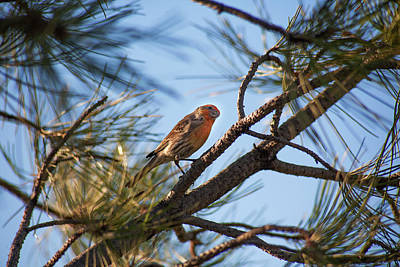 Photograph - Orange House Finch by Marilyn Hunt